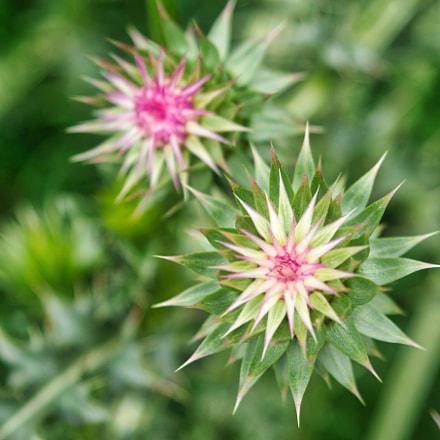 natural thistle flowers, Nikon D7100, AF Zoom-Nikkor 35-135mm f/3.5-4.5 N