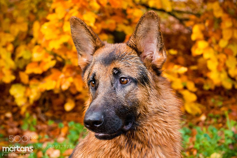 Photograph Gandor in Autumn by Stefan Mertens on 500px