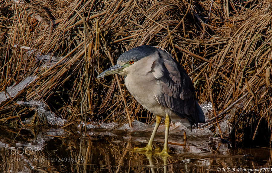 Photograph Iced Heron by Harold Begun on 500px