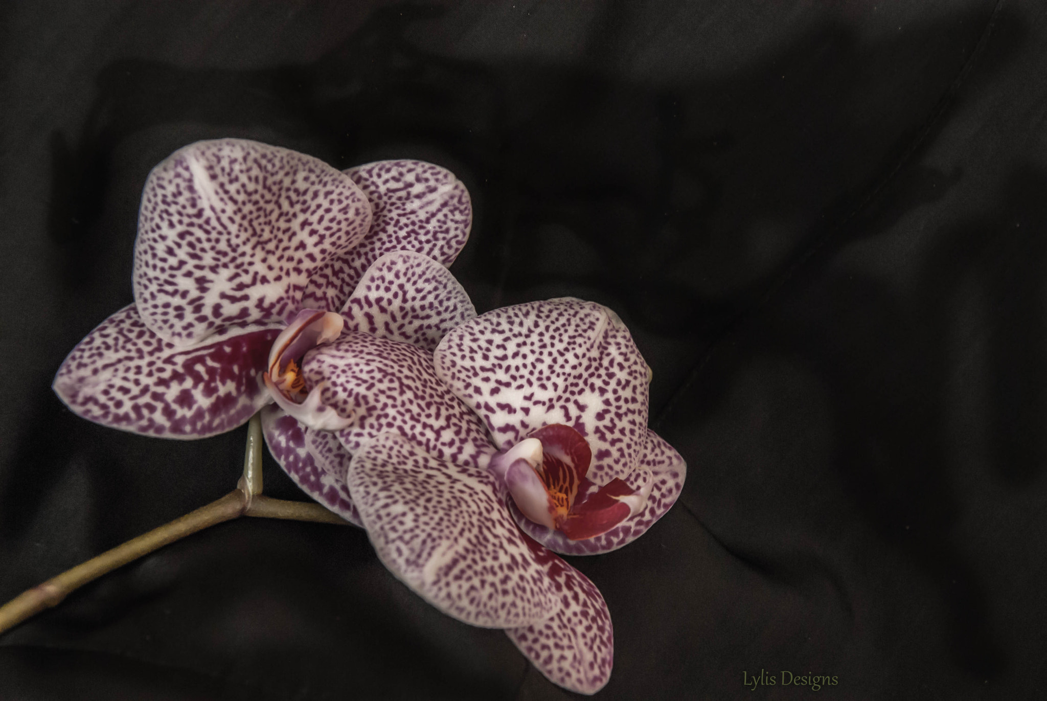 Photograph black orchid by Lylis Designs on 500px