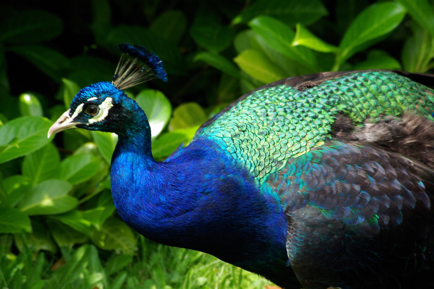 Photograph Peacock by Jo Bird on 500px