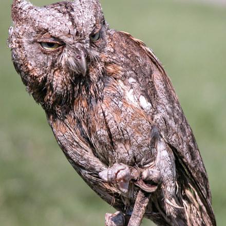 Burrowing owl (?), Nikon E5700