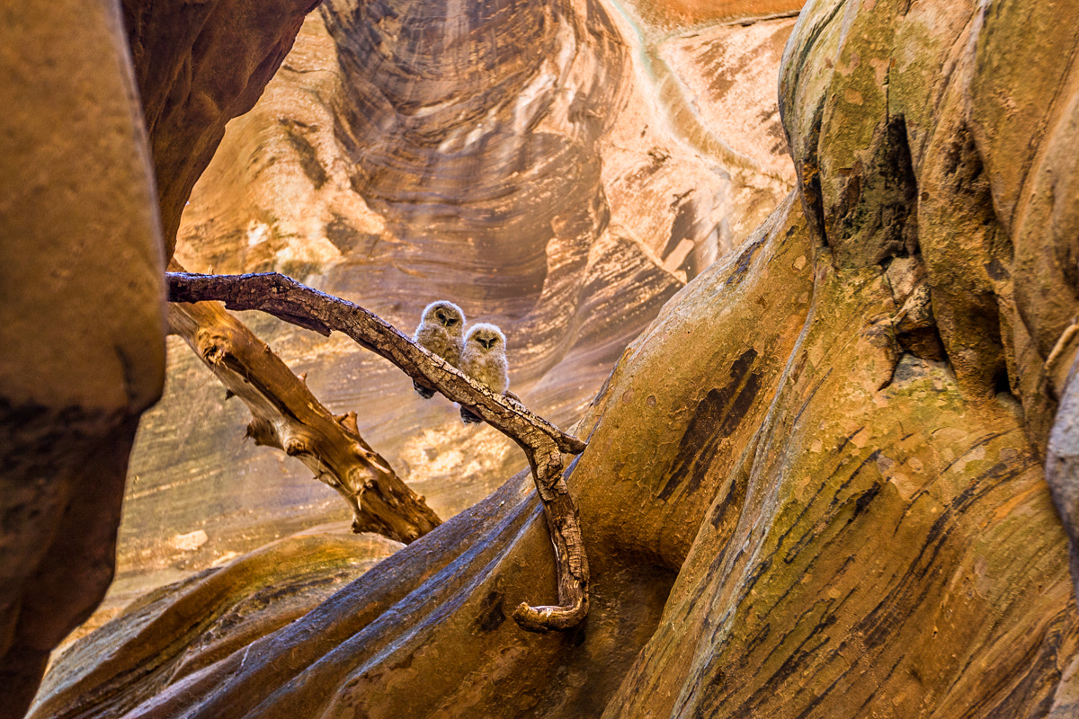 Photograph Owls in Canyon by Whit Richardson on 500px