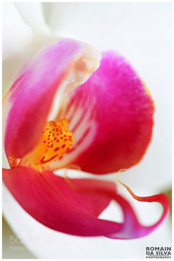 Photograph White orchid with pink personality by Romain Da Silva on 500px