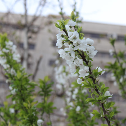 Blossoms, Canon EOS KISS X5, Canon EF-S 18-55mm f/3.5-5.6 IS II