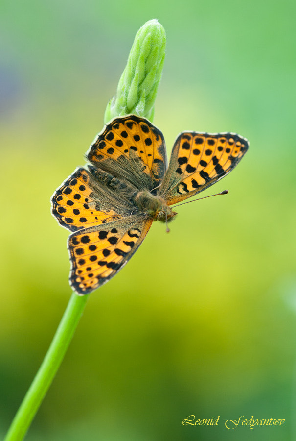 Photograph Queen of Spain Fritillary Starts by Leonid Fedyantsev on 500px
