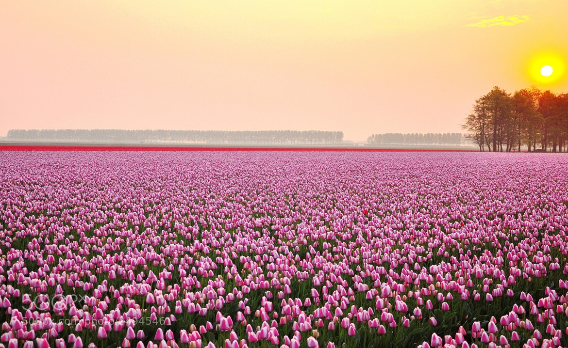 Photograph Just love tulips.... by Albert Weed on 500px