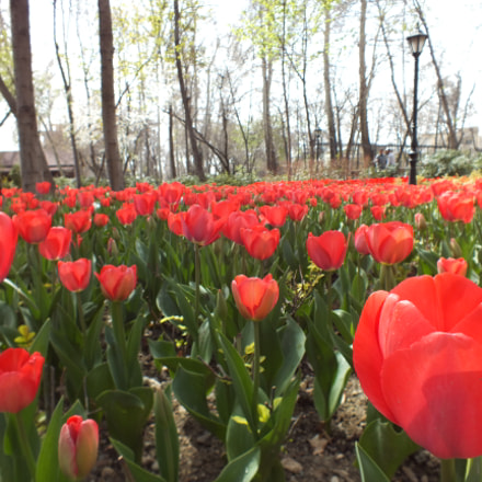 Tulips, Fujifilm FinePix HS25EXR