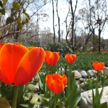 Orange Tulips, Fujifilm FinePix HS25EXR