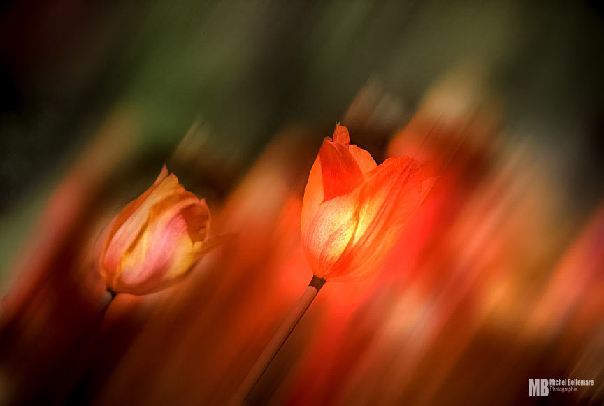 Photograph Tulips, art by Michel Bellemare on 500px