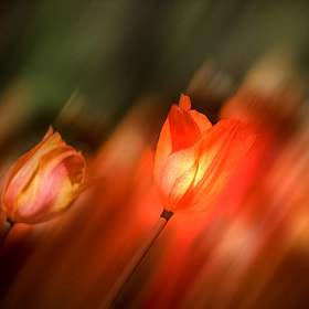 Tulips, art by Michel Bellemare (MichelBellemare)) on 500px.com