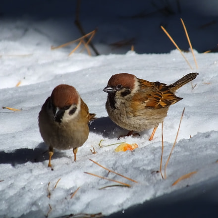 tree sparrow, Fujifilm FinePix HS50EXR