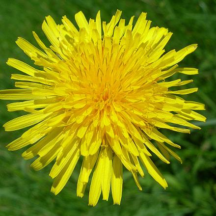 Dandelion flower, Nikon E7900