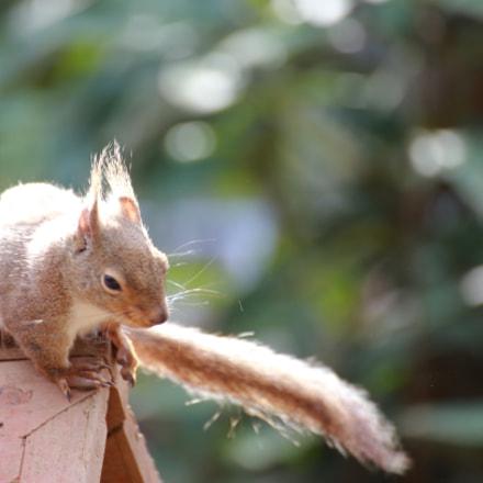 Squirrel in the park, Canon EOS 6D, Tamron SP 70-300mm f/4.0-5.6 Di VC USD