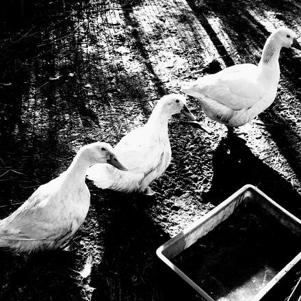 duck, Samsung Digimax L60