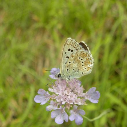 Lysandra bellargus, Nikon COOLPIX P90