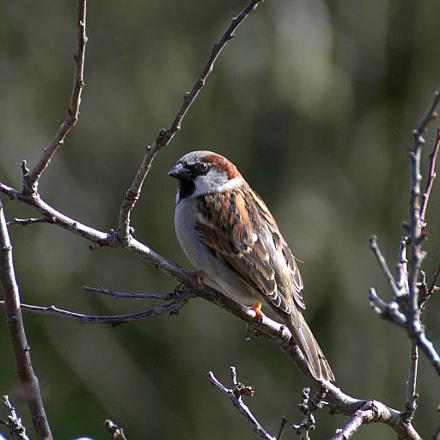sparrow, Canon EOS 77D, Tamron SP 70-300mm f/4.0-5.6 Di VC USD