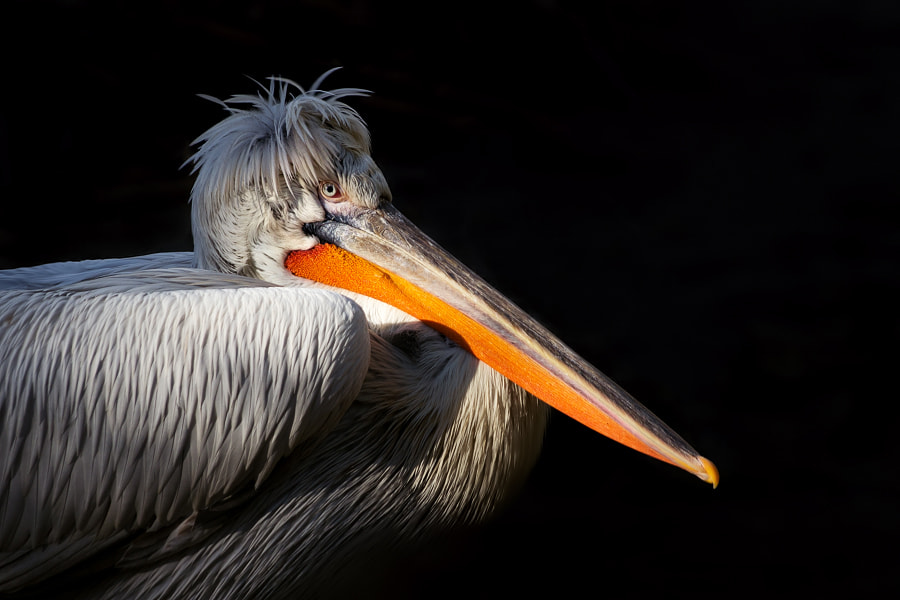 Photograph Pelican by Stéphane ABCDEF on 500px