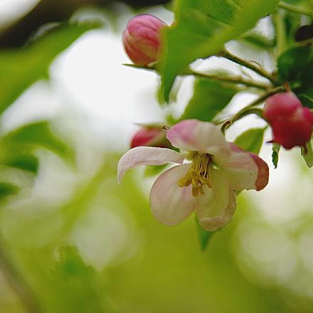 apple blossom, RICOH PENTAX K-1, Tamron SP AF 28-75mm F2.8 XR Di LD Aspherical [IF] Macro