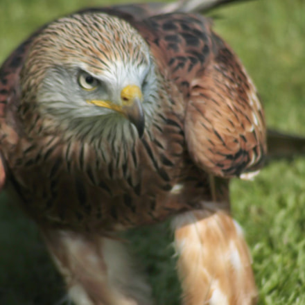 Raptor, Canon EOS 1100D, Canon EF 35-105mm f/4.5-5.6