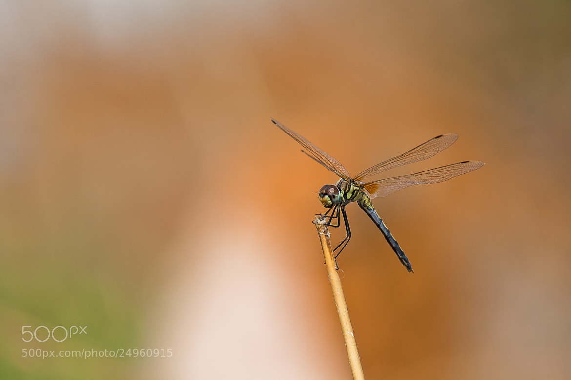 Photograph Colorful Dragonfly by Pradeep BR on 500px