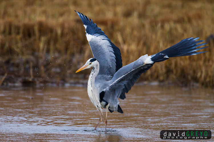 Photograph Grey Heron by David Greyo on 500px
