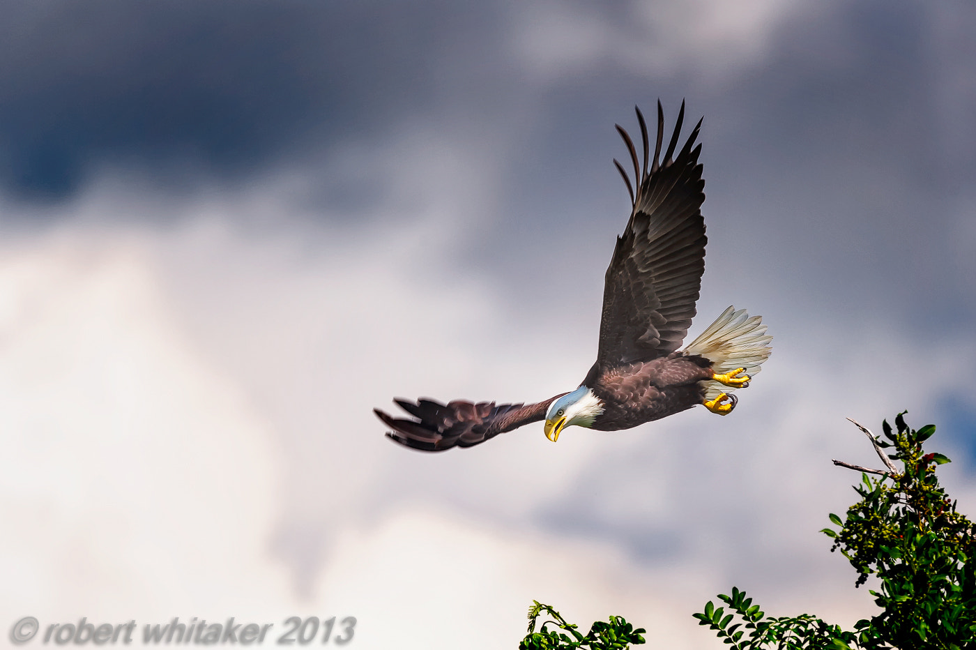 Photograph Bald Eagle in flight by Robert Whitaker on 500px
