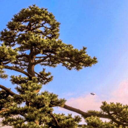 pine tree, Canon IXY 430F