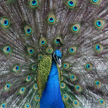 Peacock, Canon EOS 1200D