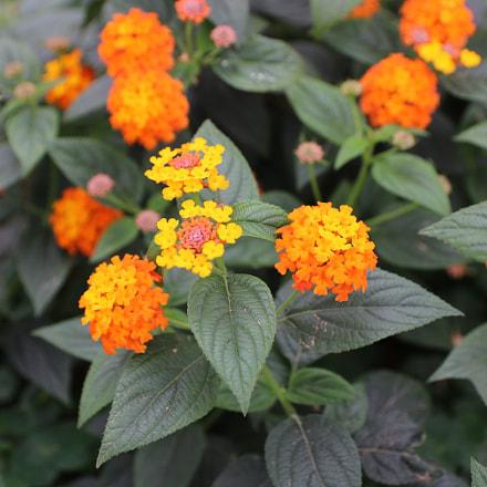 Flower, Canon EOS 750D