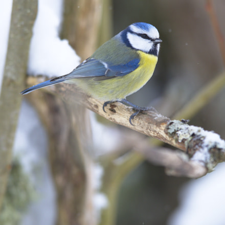 Blue Tit side view, Nikon D810, AF-S Nikkor 400mm f/2.8D IF-ED II