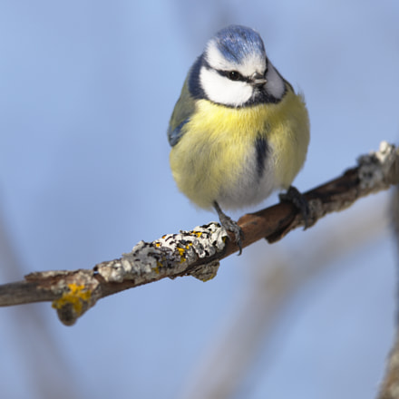 Front view Blue tit!, Nikon D810, AF-S Nikkor 400mm f/2.8D IF-ED II