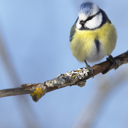 Blue tit front view, Nikon D810, AF-S Nikkor 400mm f/2.8D IF-ED II