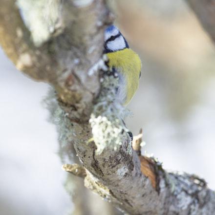 Blue tit peeking through!, Nikon D810, AF-S Nikkor 400mm f/2.8D IF-ED II