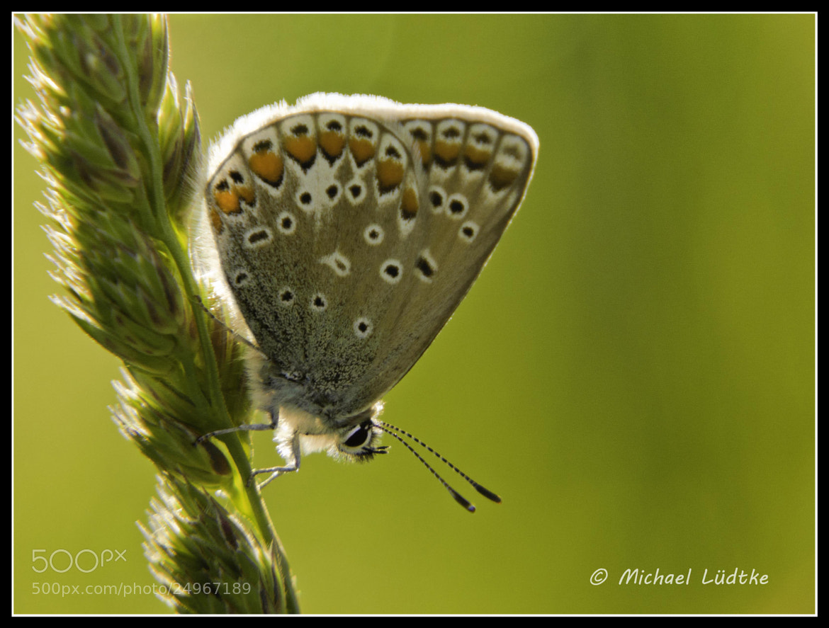 Photograph Butterfly in the sunlight by Michael Lüdtke on 500px