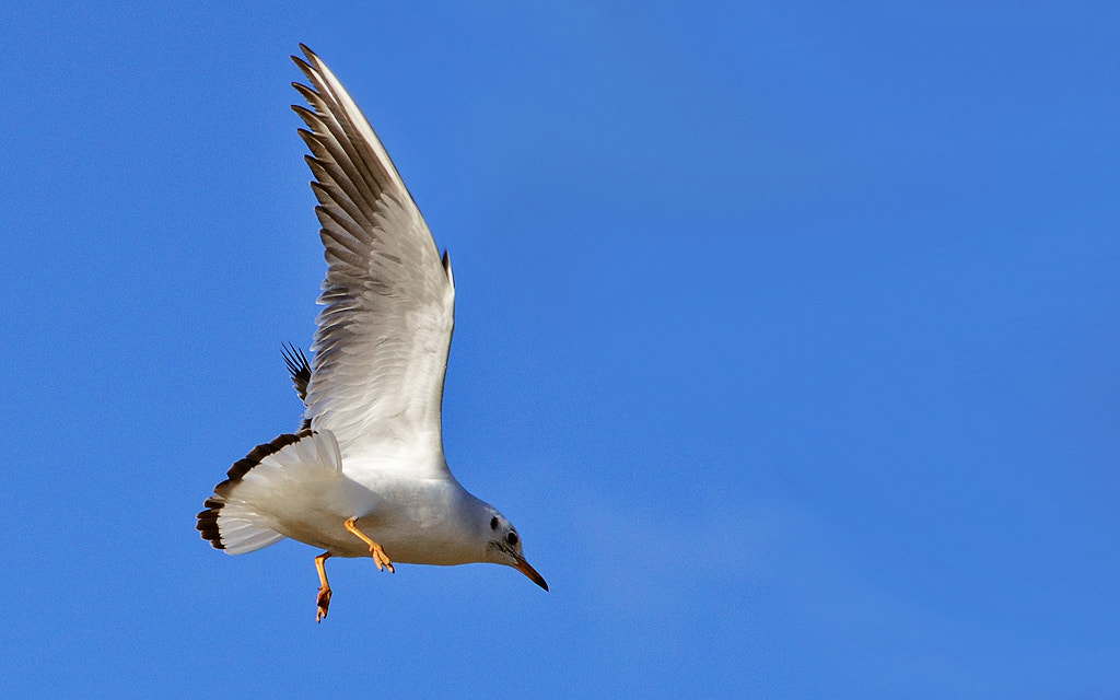 Photograph Seagull by Michel L'HUILLIER on 500px