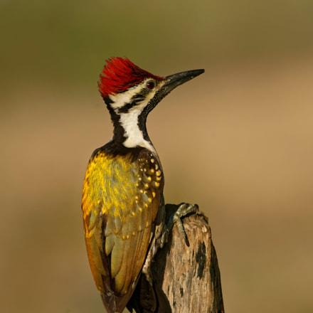 Lesser Golden Back Woodpecker, Sony ILCA-99M2, Sony 500mm F4 G SSM (SAL500F40G)