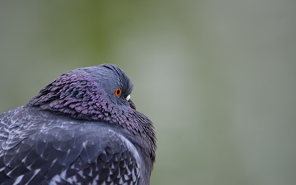 Photograph Pigeon by Michel L'HUILLIER on 500px