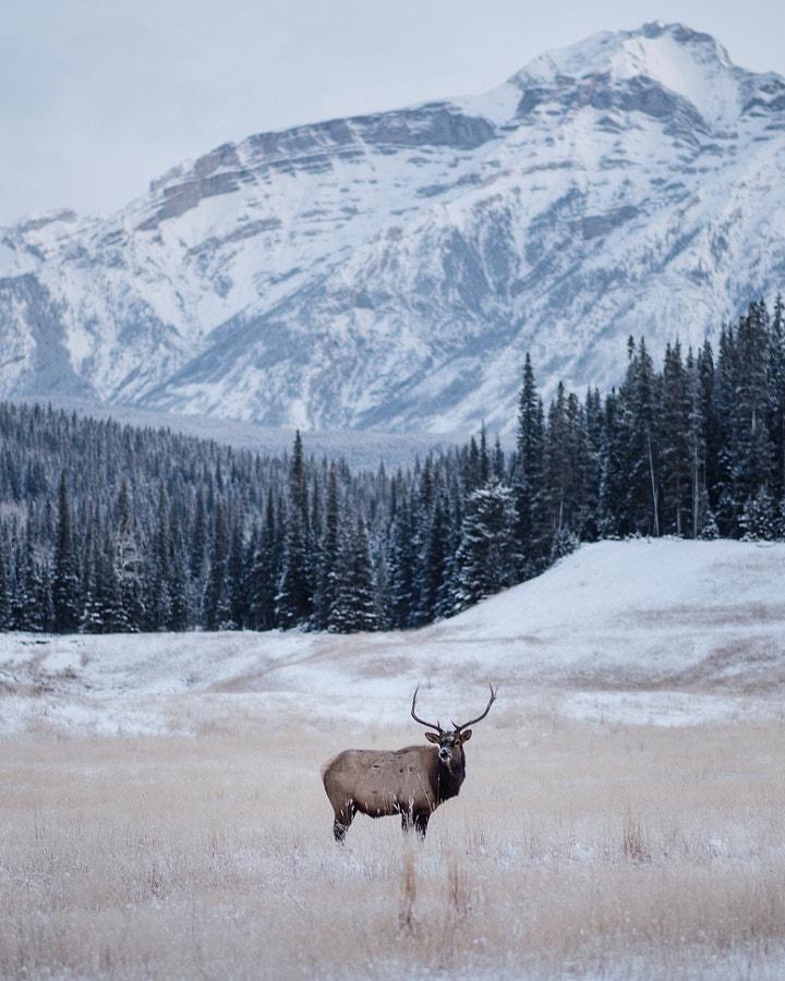 -25°f morning. Bull Elk. Banff. Alberta. The beaut ... by Tanner Wendell Stewart on 500px.com