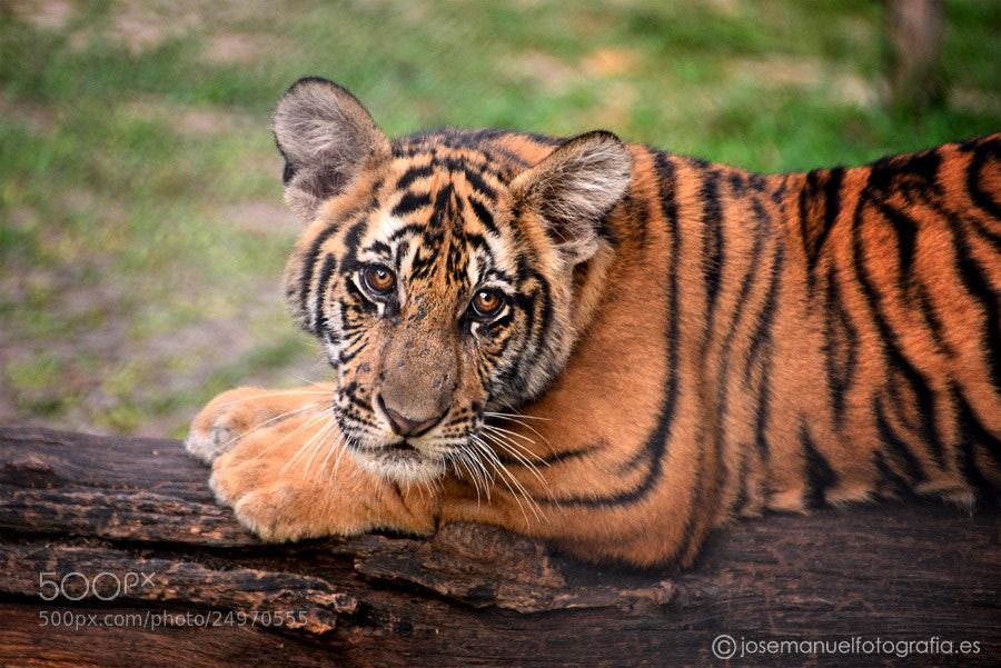 Photograph BABY TIGER by Jose Manuel Fotografia on 500px