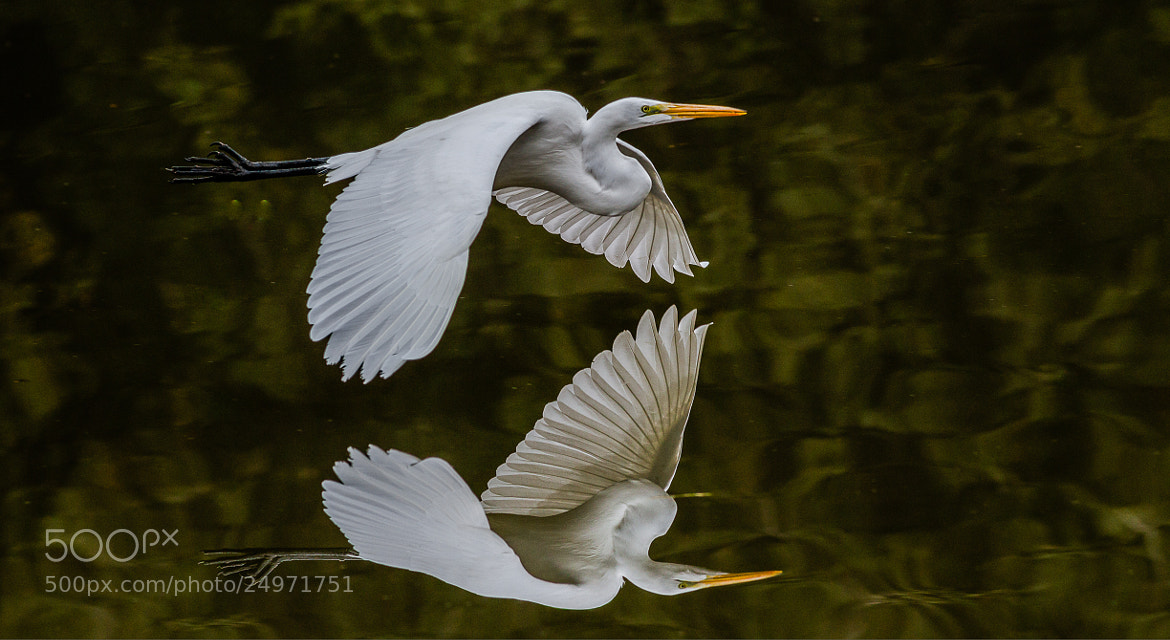 Photograph Great Egret Reflection by Timothy Fairley on 500px