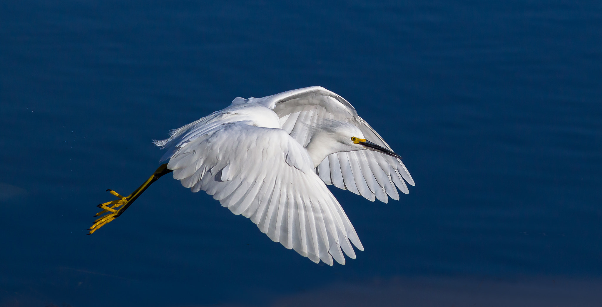 Photograph Snowy Egret by Timothy Fairley on 500px