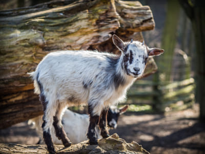 Baby goat standing on a tree trunk