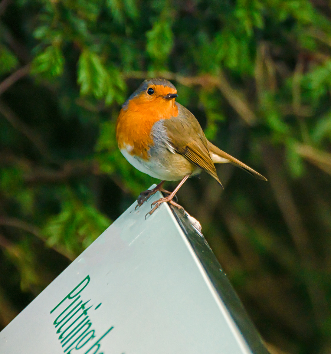 Photograph Friendly Robin by Phil Robson on 500px