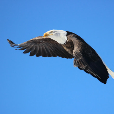 Bald Eagle Flying, Canon EOS REBEL T3I, Tamron SP 150-600mm f/5-6.3 Di VC USD