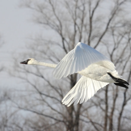 Trumpeter Swan in Flight, Canon EOS REBEL T3I, Tamron SP 150-600mm f/5-6.3 Di VC USD
