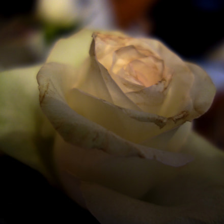The last rose, Sony DSC-RX100, Carl Zeiss Vario-Sonnar T* DT 16-80mm F3.5-4.5 ZA (SAL1680Z)
