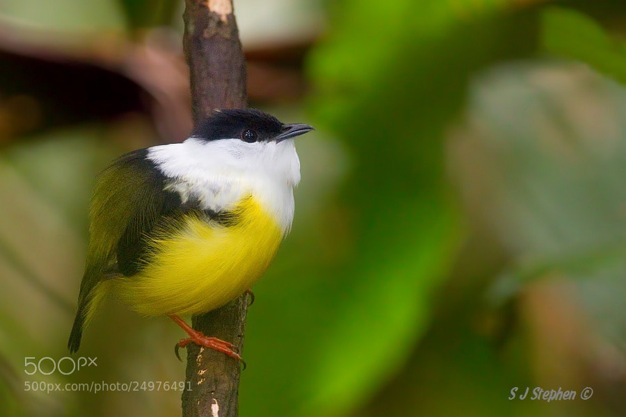 Photograph Male White-Collared Manakin  by Stephen Stephen on 500px