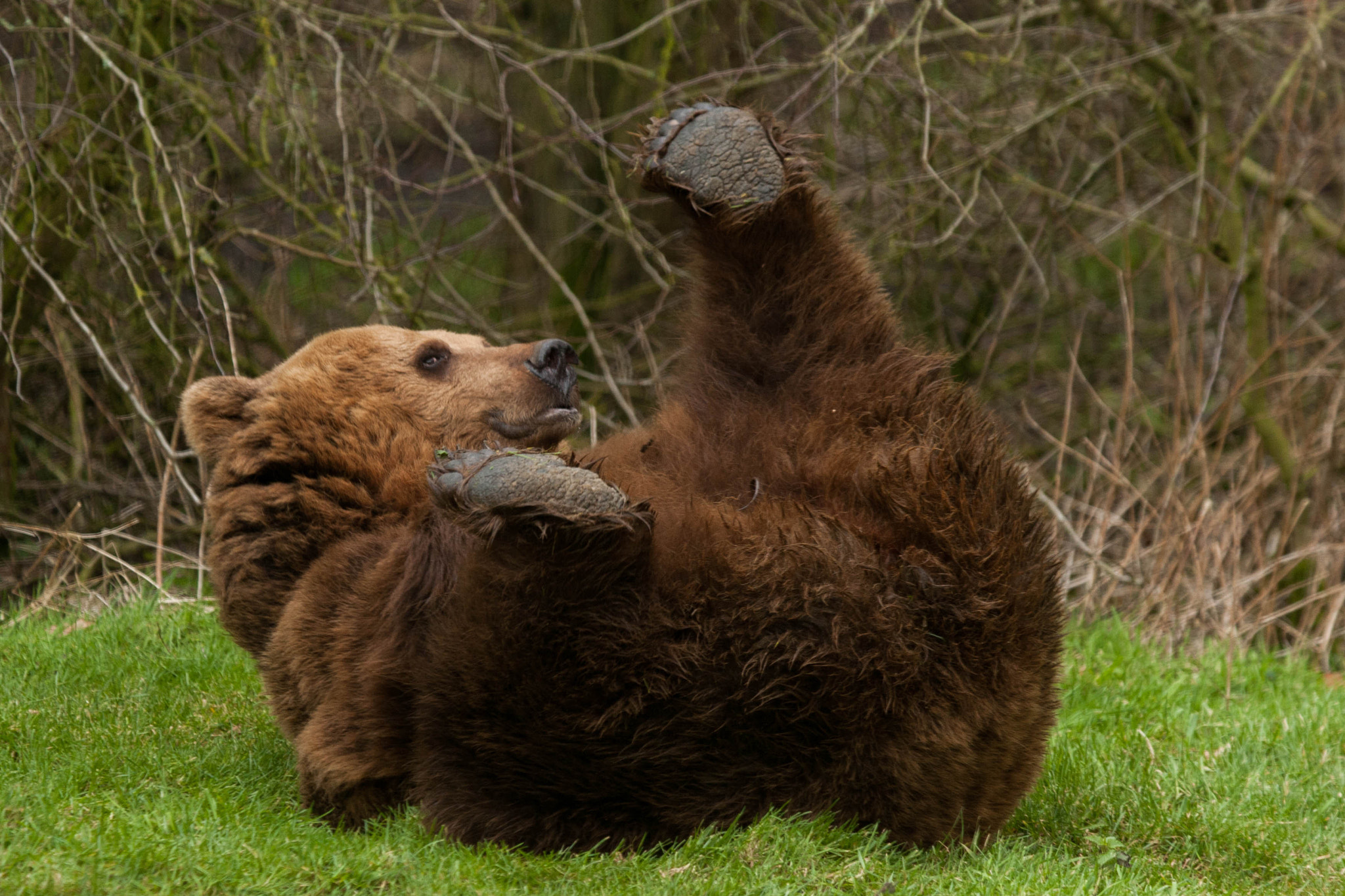 Photograph Brown Bear Playing  by David Batchelor on 500px