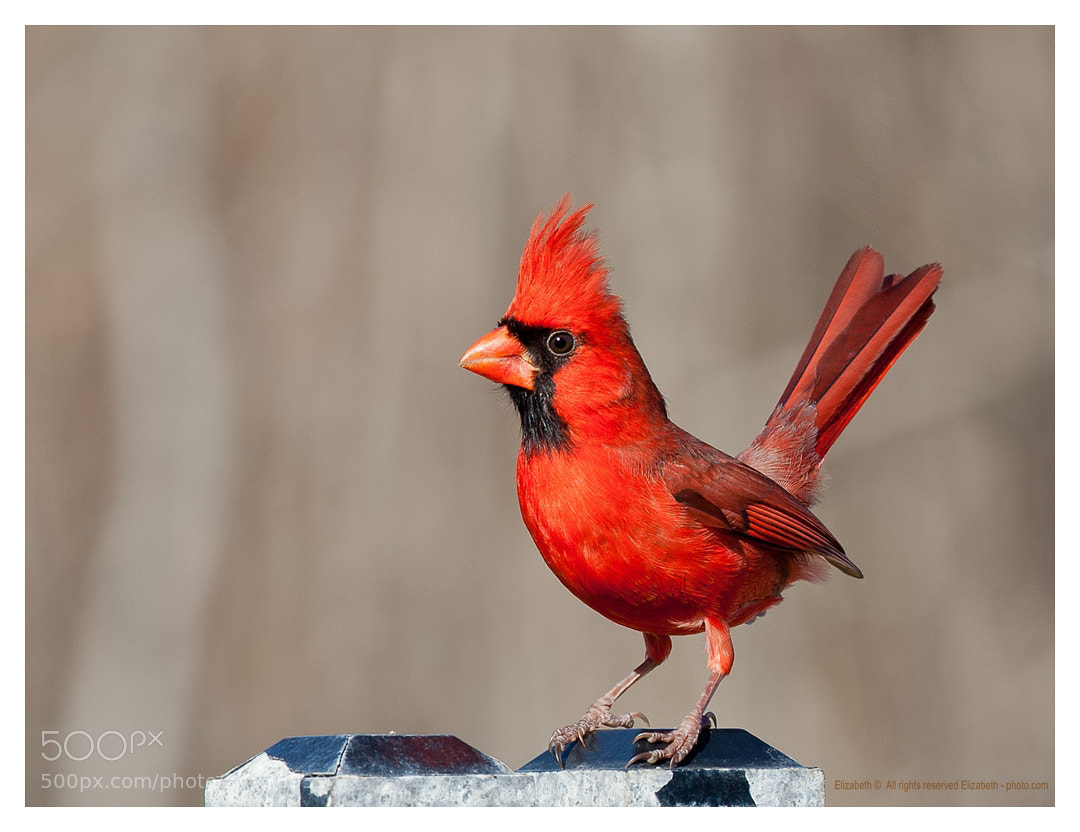 Photograph Northern Cardinal  by Elizabeth.  E. on 500px